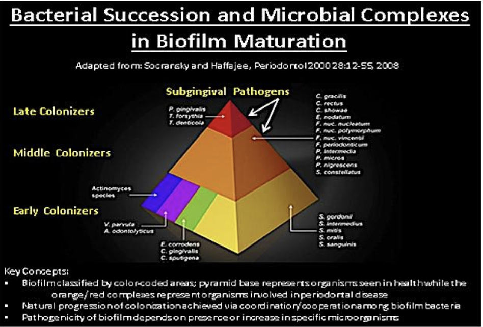 Figure 1. Bacterial succession and microbial complexes in biofilm maturation