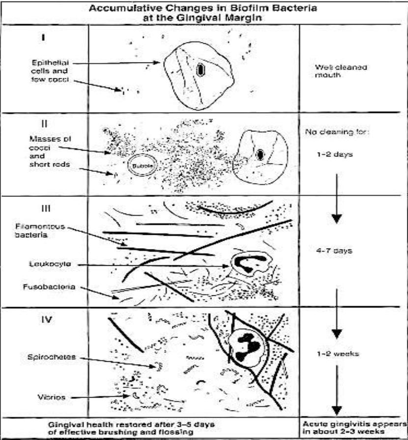 Figure 2. Accumulative changes in biofilm bacteria at the gingival margin